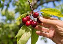 cherrypicker 6