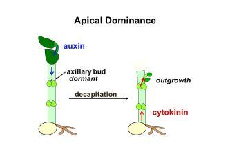 auxin 4